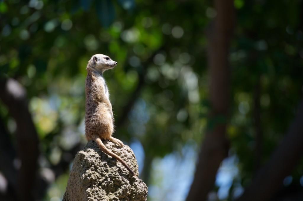 Inizia la ricerca in solitaria: un suricato rappresenta The Half Hermit che guarda verso l