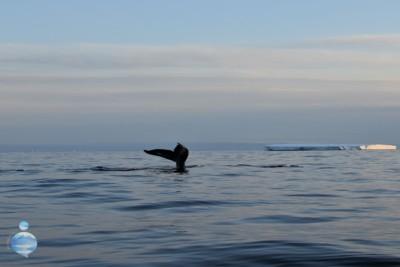 Cosa si mangia in Groenlandia? La balena è un cibo diffuso e tradizionale.